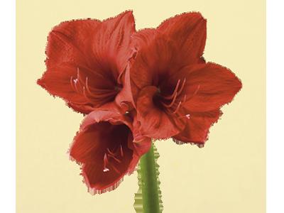 Signification et symbolisme de la fleur d 39 amaryllis for Signification amaryllis