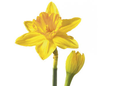 daffodil/narcissus flower meaning  symbolism  teleflora, Natural flower