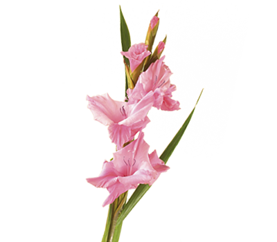 http://assets.teleflora.com/images/customhtml/meaning-of-flowers/gladiolus.png