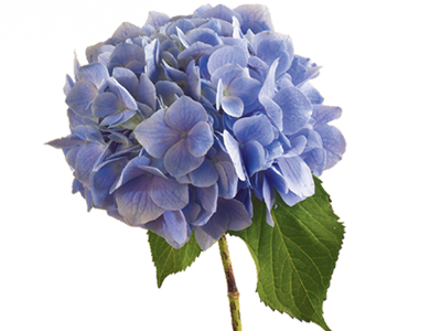 hydrangea flower meaning  symbolism  teleflora, Beautiful flower