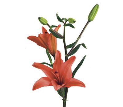 Signification et symbolisme de la fleur de lys teleflora - Signification fleur de lys ...