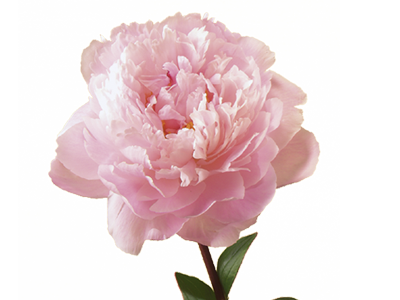 peony flower meaning  symbolism  teleflora, Natural flower