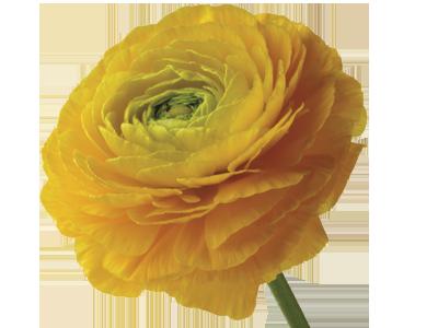 ranunculus flower meaning & symbolism | teleflora