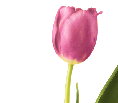 symbolic meaning of the tulip  teleflora, Beautiful flower