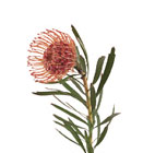 Protea(pin cushion)