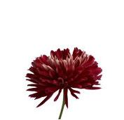 chrysanthemum disbud