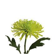 chrysanthemum fiji