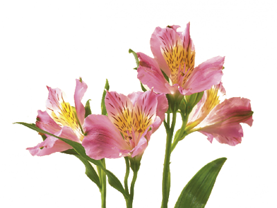 Discover the language meanings of flowers teleflora alstroemeria mightylinksfo
