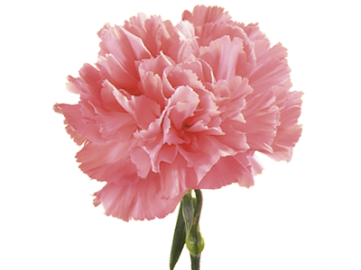 Symbolic Meaning Of Carnation Teleflora