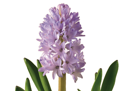 Discover the language meanings of flowers teleflora hyacinth mightylinksfo