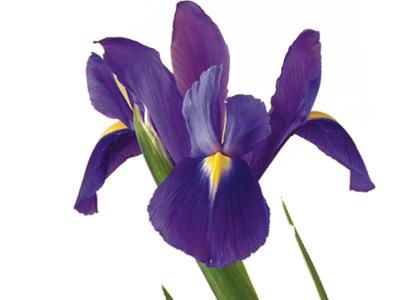 Discover the meaning of birth month flowers teleflora iris mightylinksfo