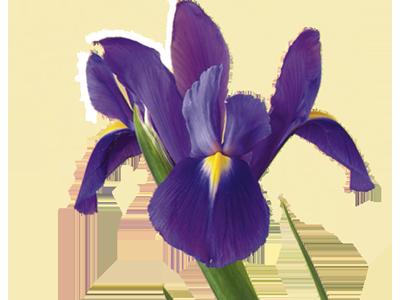 Signification et symbolisme de la fleur de lys   Teleflora