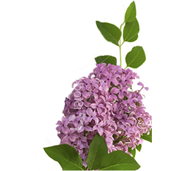 Discover the language meanings of flowers teleflora lilac mightylinksfo