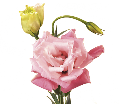 Discover the language meanings of flowers teleflora lisianthus mightylinksfo