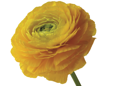Discover the language meanings of flowers teleflora ranunculus mightylinksfo