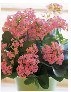 Learn how to care for house plants teleflora pink kalanchoe plant mightylinksfo