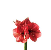 What wedding flowers are in season in winter teleflora amaryllis junglespirit Gallery