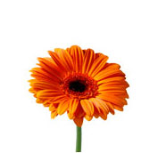 What wedding flowers are in season in fall teleflora orange gerbera junglespirit Images