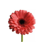 What wedding flowers are in season in spring teleflora pink gerbera mightylinksfo
