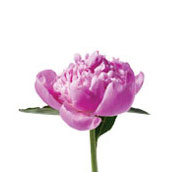 What wedding flowers are in season in spring teleflora peony mightylinksfo