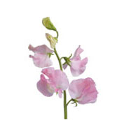 What wedding flowers are in season in spring teleflora sweet pea junglespirit Images